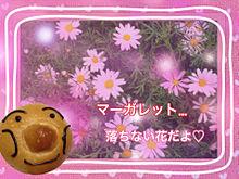 マーガレット…落ちない花…の画像(プリ画像)