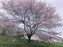 桜の木の画像(満開に関連した画像)