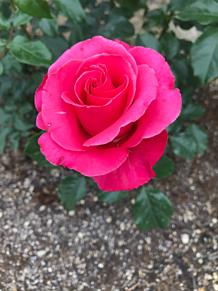 病院の薔薇の画像(病院に関連した画像)