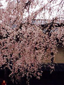 枝垂れ桜…レトロの画像(プリ画像)