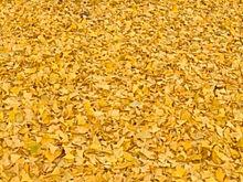 イチョウの絨毯… プリ画像