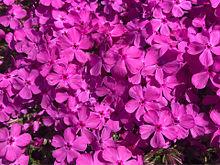 芝桜の画像(ザクラに関連した画像)