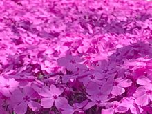 芝桜…の画像(ザクラに関連した画像)