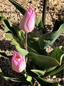 ピンクのチューリップ🌷の画像(ピンクのチューリップに関連した画像)