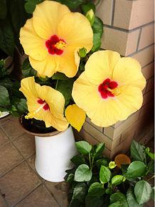 黄色いハイビスカス プリ画像