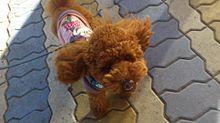犬 トイプードル プリ画像