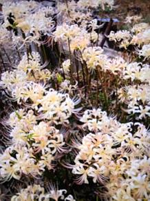 白い彼岸花 プリ画像