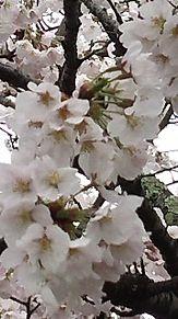 ある場所で桜散策した自分♪ プリ画像