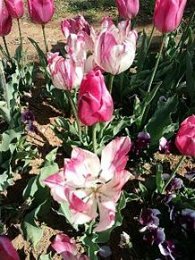 ピンクと白の花の画像(プリ画像)