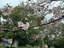 桜 曇り 春 千葉県我孫子市 プリ画像