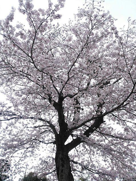 自宅に何故か生えてきた桜の画像(プリ画像)