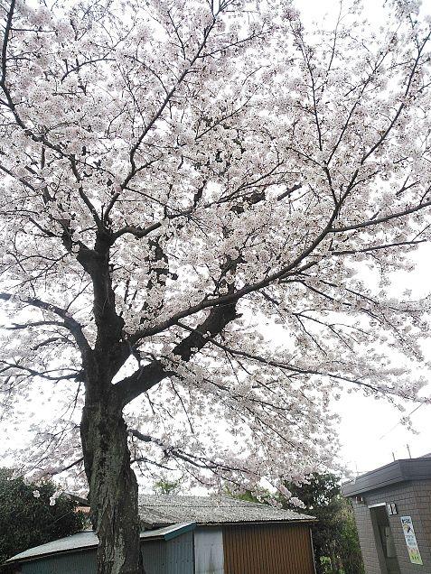 最寄り駅に生えてた桜の画像(プリ画像)