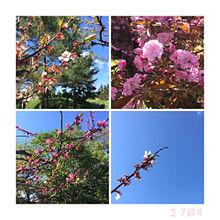 梅と桜(✿︎´ ꒳ ` ) プリ画像