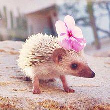 cute hedgehog の画像(プリ画像)