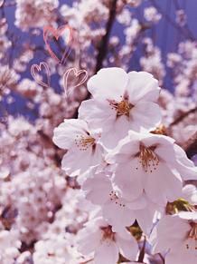 桜〜 プリ画像