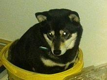中に入る俺の柴犬の画像(プリ画像)