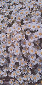 お花畑の画像(花畑に関連した画像)