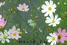 コスモスの画像(コスモスに関連した画像)