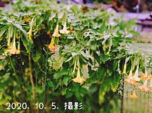 キダチチョウセンアサガオ。の画像(ダチに関連した画像)