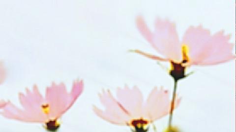 LOVEコスモス②の画像 プリ画像