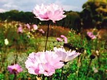 秋桜園②の画像(自然に関連した画像)