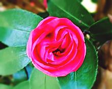 サザンカ(ピンク)の画像(#ピンクに関連した画像)