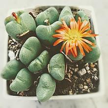 コノフィツム開花🌼の画像(自然に関連した画像)