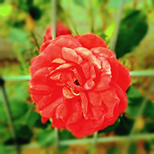 秋咲きの薔薇。の画像(自然に関連した画像)
