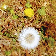 セイヨウタンポポ。の画像(自然に関連した画像)