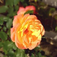 薔薇🌹の画像(自然に関連した画像)