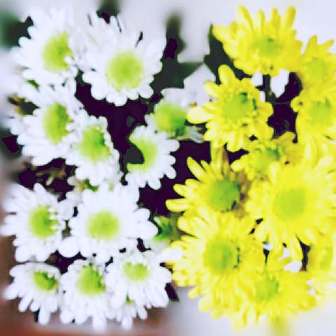スプレーマム(スプレー菊)の画像 プリ画像