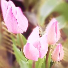 チューリップ🌷(ピンク)の画像(言葉に関連した画像)