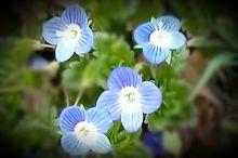 早春の花💠 オオイヌノフグリ プリ画像