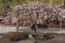 シダレ梅🌸の画像(風景に関連した画像)