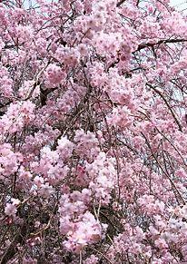 枝垂れ桜満開🌸の画像(満開に関連した画像)