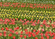 🌷畑(赤,ピンク,黄,白)の画像(赤色に関連した画像)