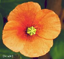 花🌼の画像(オレンジ色に関連した画像)