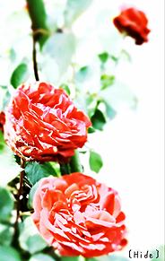 花🌹の画像(赤色に関連した画像)