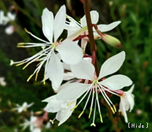 花🌸の画像(ハクに関連した画像)
