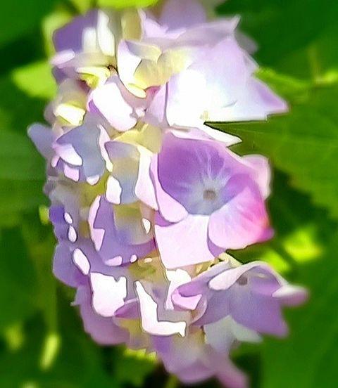 紫陽花💠の画像(プリ画像)