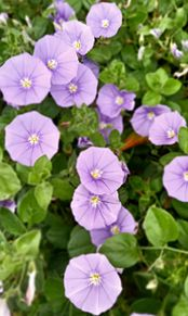 花🏵️の画像(紫色に関連した画像)