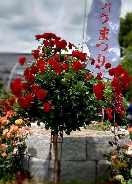 薔薇園🌹の画像(プリ画像)