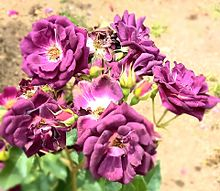 花🌹の画像(紫色に関連した画像)