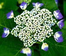 紫陽花(青紫)💠の画像(紫色に関連した画像)