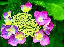 紫陽花(紫)の画像(紫色に関連した画像)