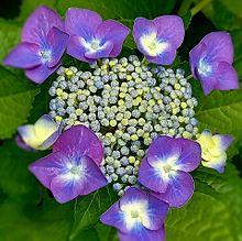 紫陽花💠の画像(紫色に関連した画像)