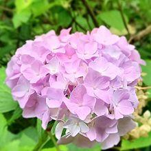 山に咲く紫陽花💠の画像(ピンク色に関連した画像)