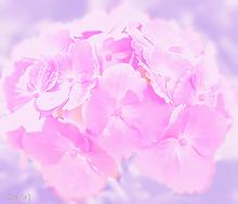 紫陽花💠の画像(ピンク色の花に関連した画像)