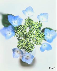 額紫陽花💠 プリ画像