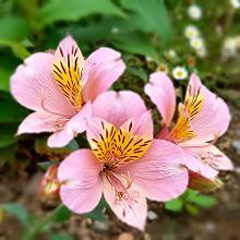 ピンク色の花🌸の画像(ピンク色の花に関連した画像)